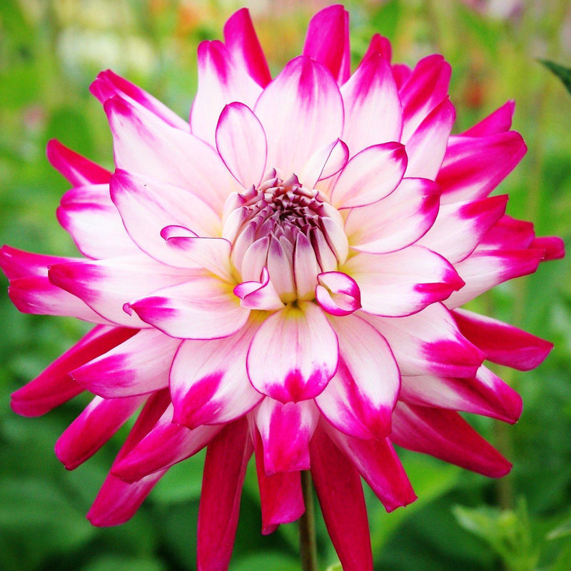 Pink and white dahlia | Who Dun It