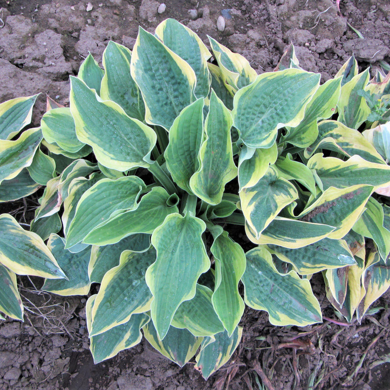 Hosta Fantastic Foilage Mix