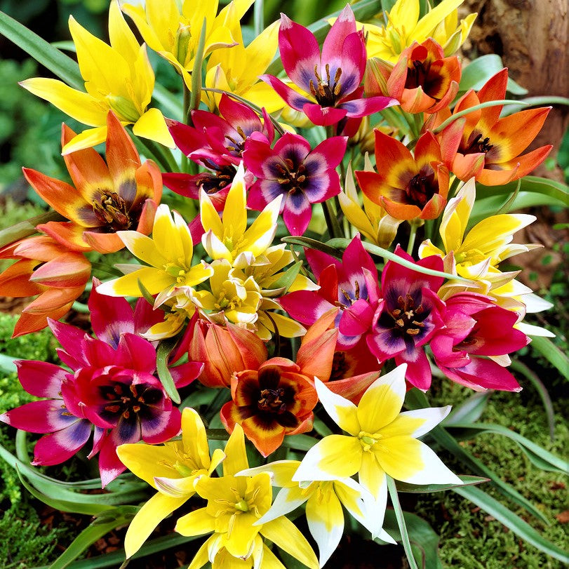 Tulip Winsome Wildings Mix