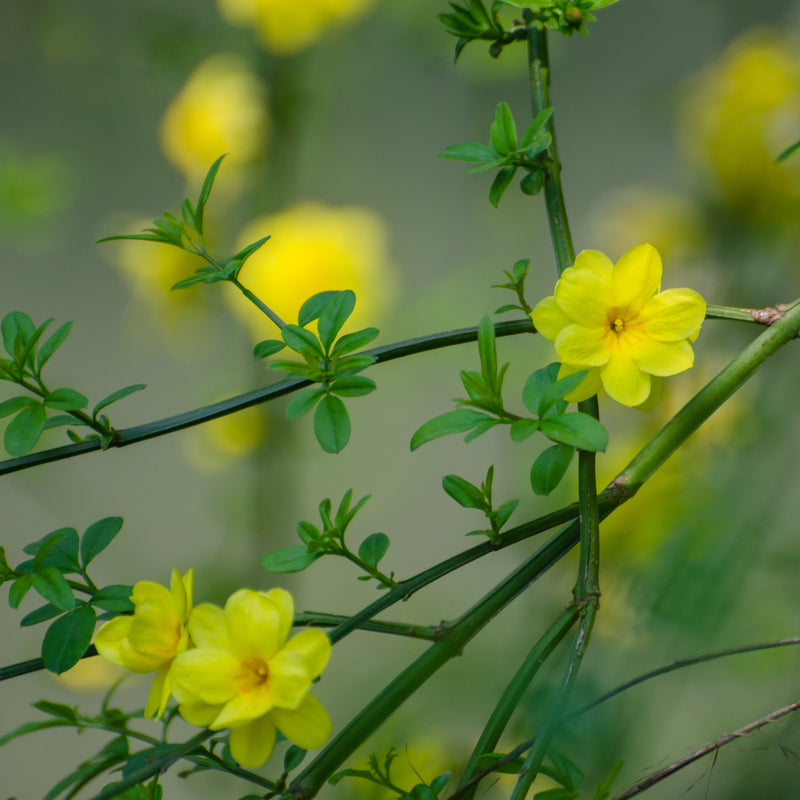 Winter Jasmine Plant, yellow flowers