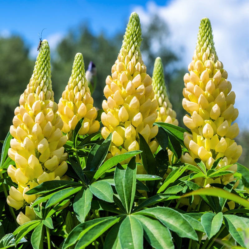 Yellow lupine flowers for sale
