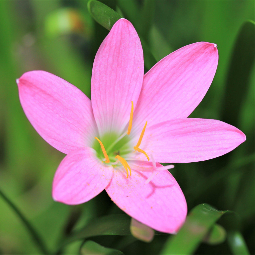 Rain Lily Pink Zephyranthes Robusta Easy To Grow Bulbs