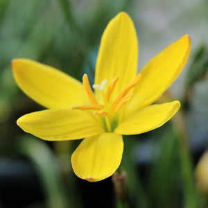 products/Zephyranthes_Sulfurea.SHUT.jpg
