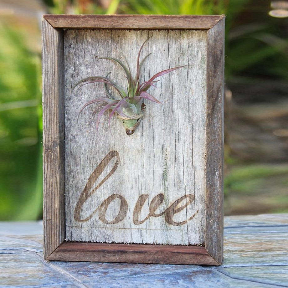 Tillandsia Air Plant Reclaimed Wood Plaque Framed with Love - FREE Shipping!