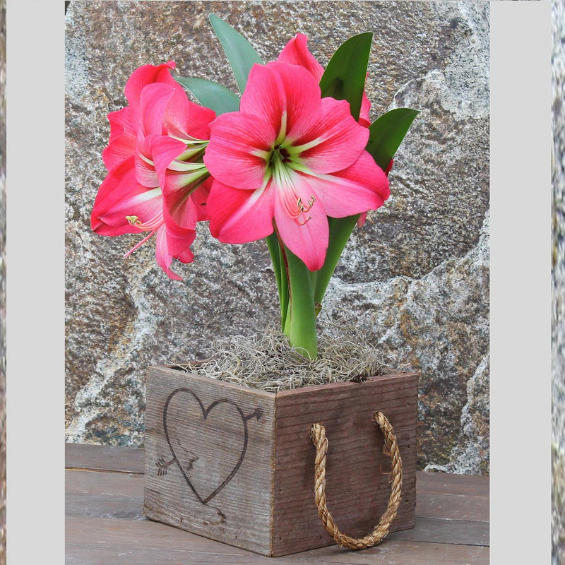 Amaryllis Pink Mimosa in a Reclaimed Wood Heart Square