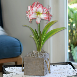 Amaryllis Aphrodite in Reclaimed Wood Square - FREE SHIPPING