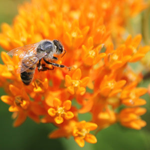 Orange Butterfly Weed | Asclepias tuberosa