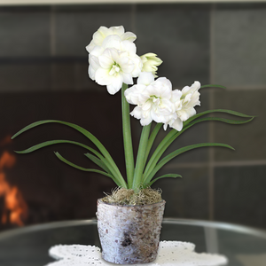 Amaryllis Snow Drift in Birch Bark Pot