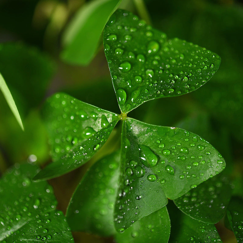 Close Up Oxalis Birgit with Rain Drops