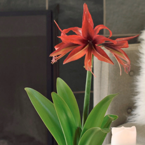 Amaryllis Bogota Duo in a Green Oval Basket - FREE SHIPPING!