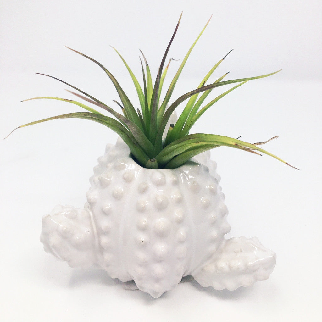 Air Plant Tillandsia with Ceramic Spiky Cactus Pot - FREE Shipping!