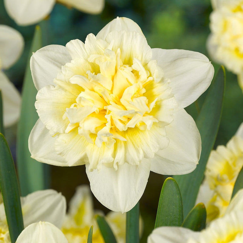 Narcissus Fluffy Doubles Daffodil Mix