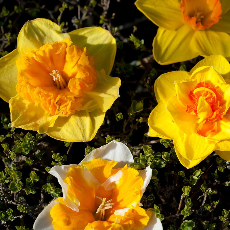 Narcissus Daffodil Everyone Loves A Deal Mix