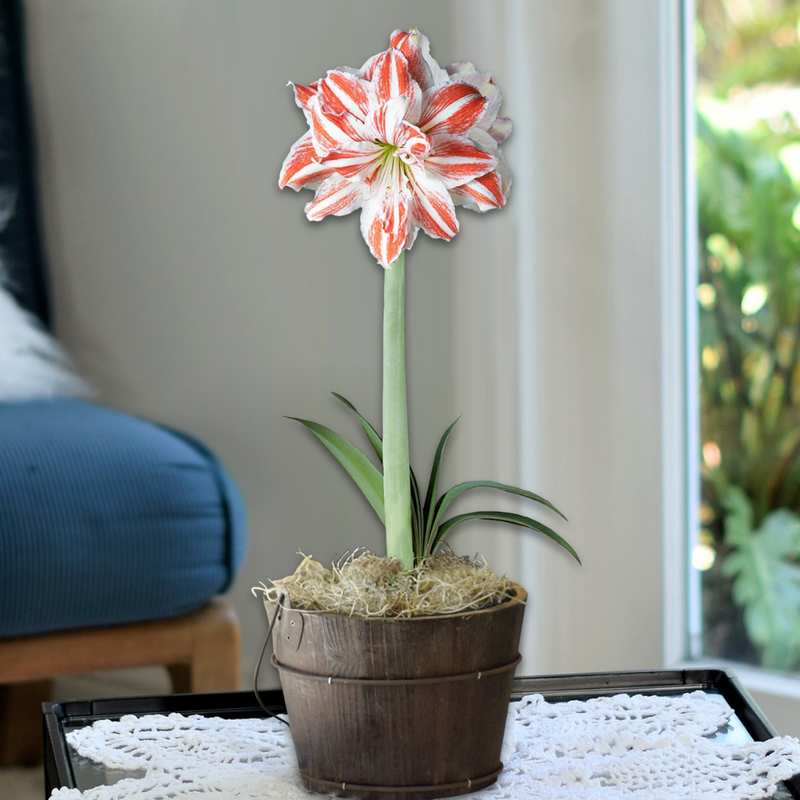 Amaryllis Dancing Queen in Orchard Bucket - FREE SHIPPING