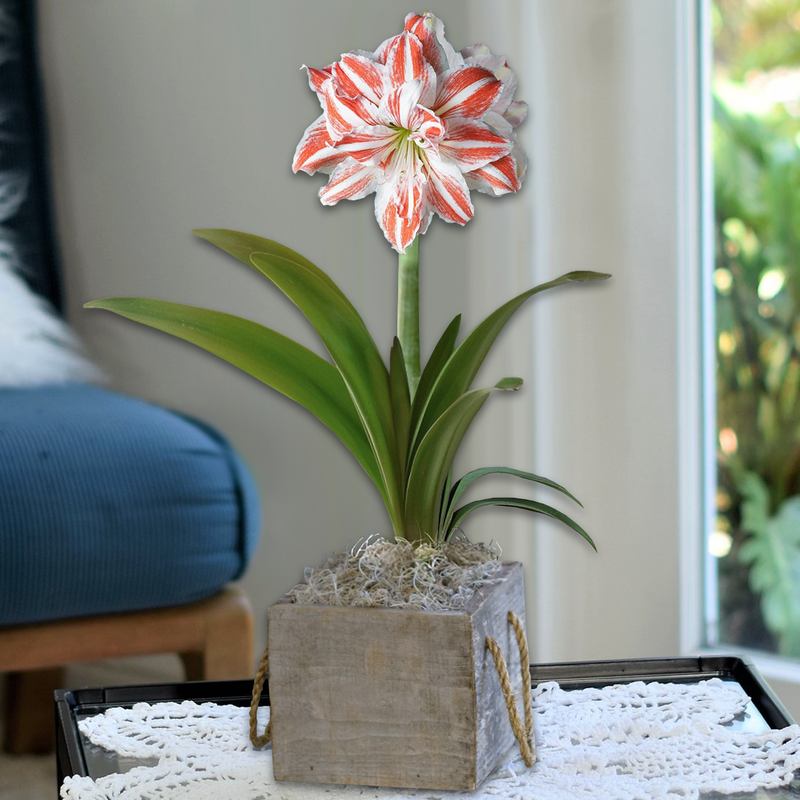 Amaryllis Dancing Queen in a Reclaimed Wood Square - FREE Shipping!
