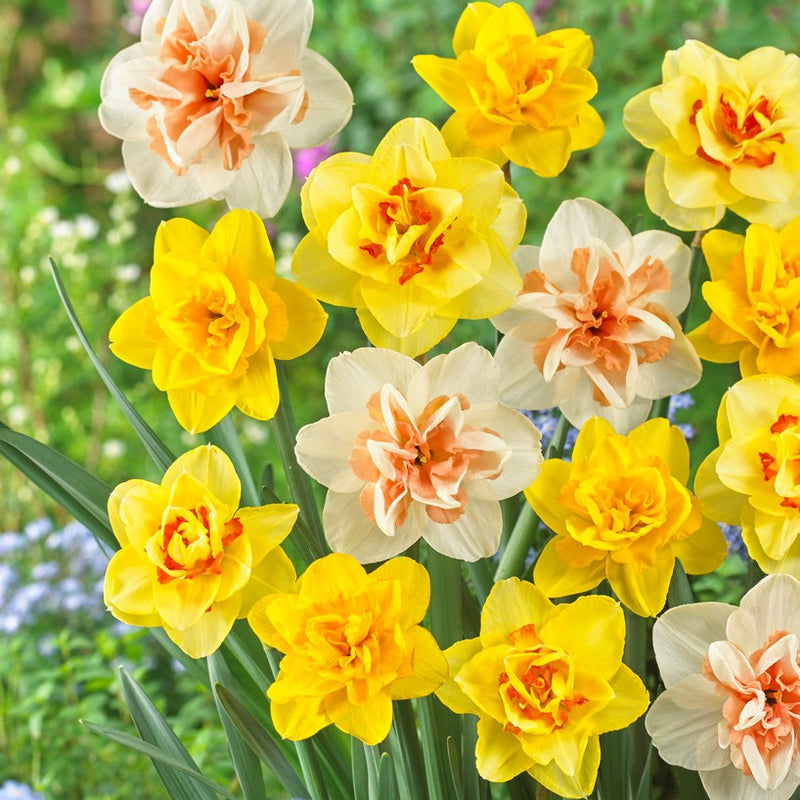 Narcisissus Fluffy Doubles Daffodil Mix