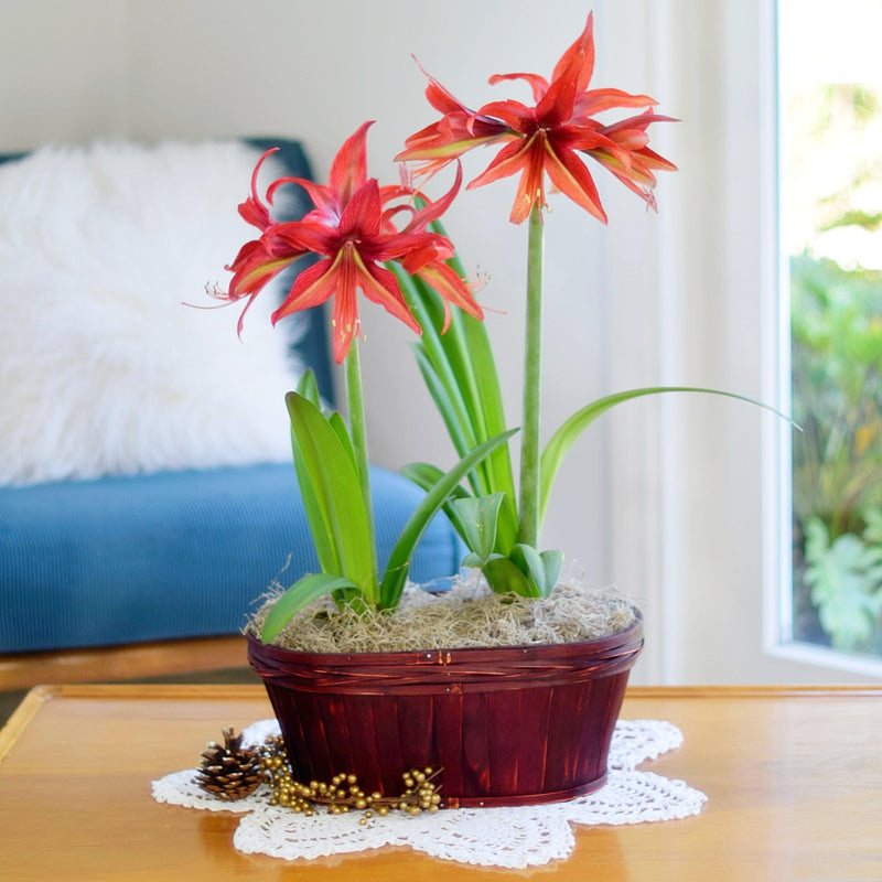 Amaryllis Bogota Duo in a Red Oval Basket - Free Shipping