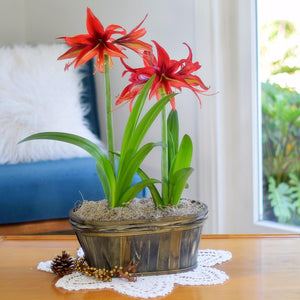 Amaryllis Bogota Duo in a Grey Oval Basket - FREE SHIPPING!