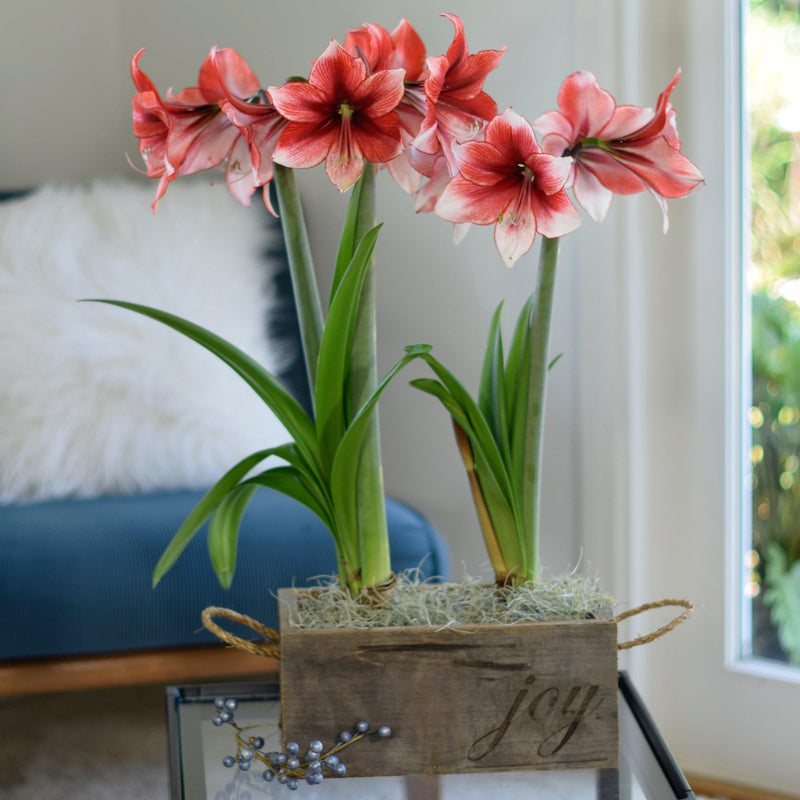 Amaryllis Temptation Gift Duo in a Reclaimed Wood Planter - Free Shipping