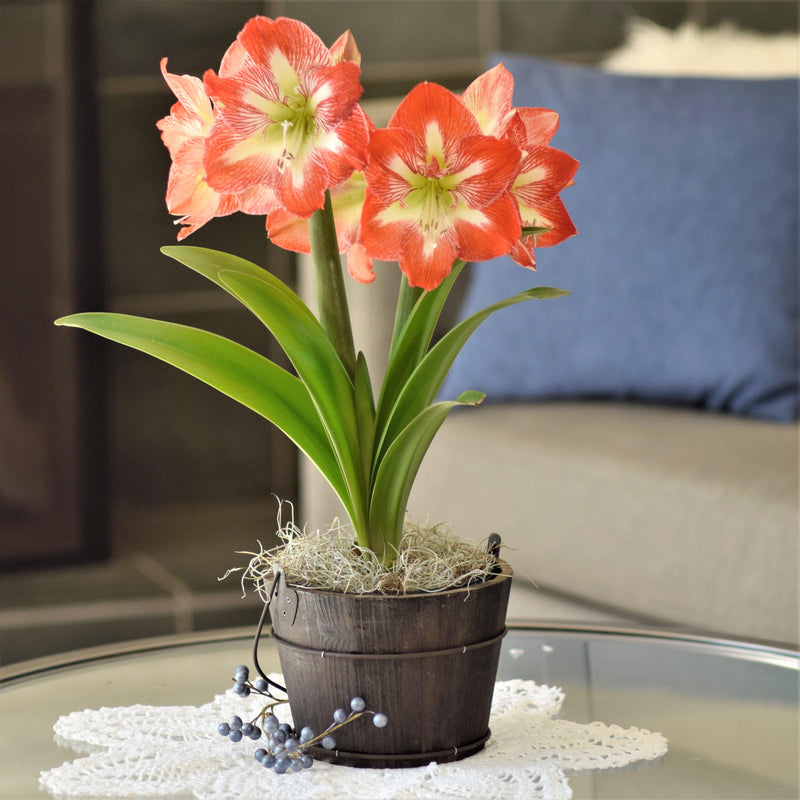 Amaryllis Minerva in an Orchard Bucket - FREE SHIPPING!