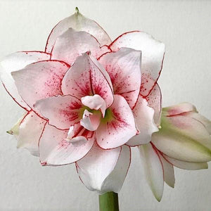 White and Red Amaryllis Elvas Flowers