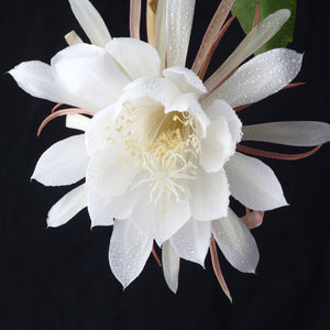 Night Blooming Orchid Cactus (Fragrant)