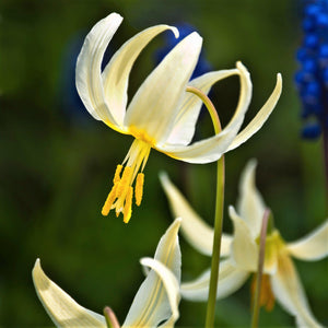 products/erythronium_californicum_white_beauty2_1059316406.SHUT.jpg