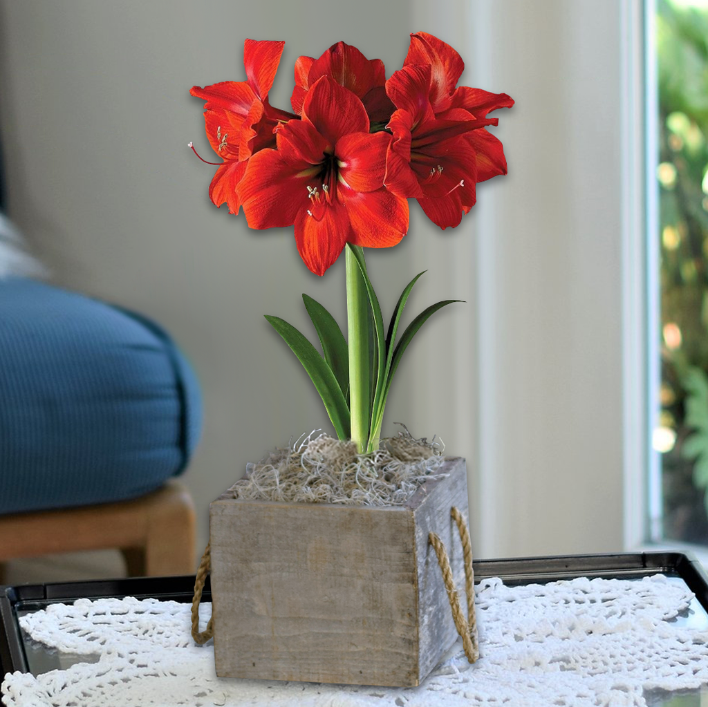 Red Amaryllis Ferrari Gift In A Reclaimed Wood Cube Free Shipping Easy To Grow Bulbs