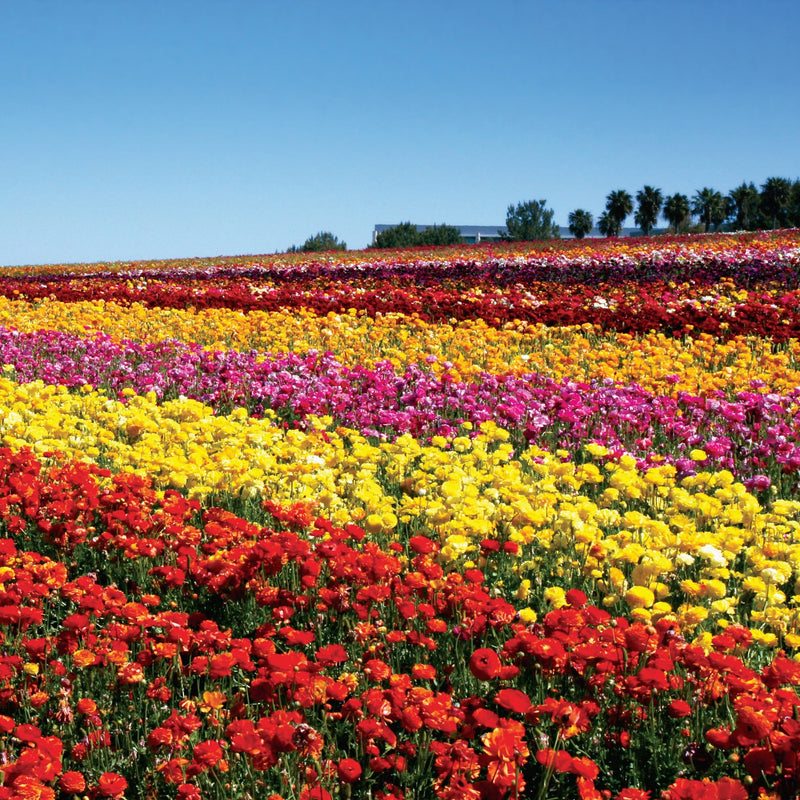 Ranunculus Tecolote® Flower Fields Collection