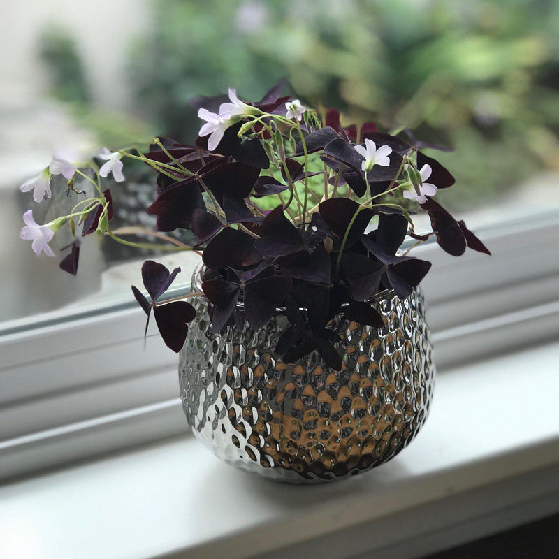 Oxalis Triangularis Windowsill Gift