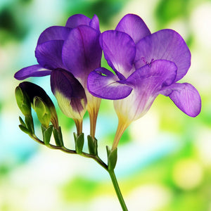 Freesia single blue flower (purple)
