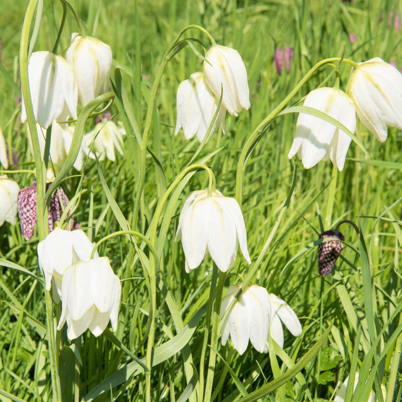 Fritillaria Checkered Lily Meleagris, White