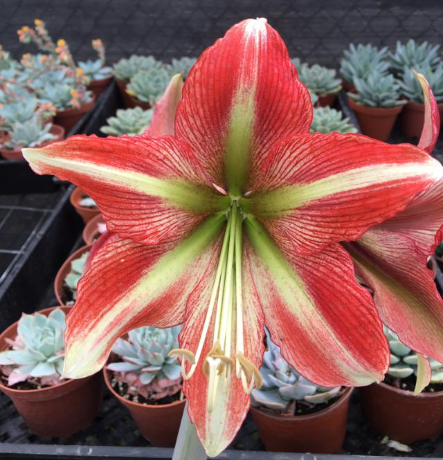 Amaryllis Cherry Crush Closeup