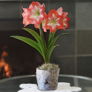 Amaryllis Minerva in a Birch Bark Pot