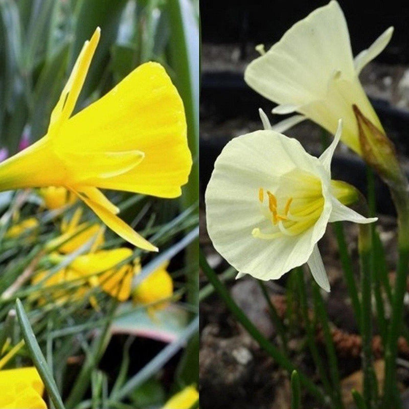 Narcissus Tiny Tea Cup Mix