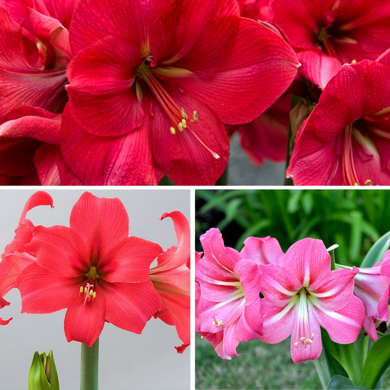 Amaryllis Pink Ladies Collection
