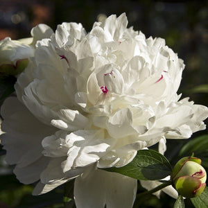 products/peony_madame_de_verneville_1_8726f8e4-0775-4bad-98e8-2374193e6ab0.jpg