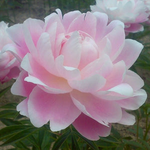 Light Pink Peony flower | Mrs. F.D. Roosevelt (Fragrant)