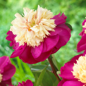 Raspberry & Cream Peony Bulbs For Sale | White Cap (Fragrant)