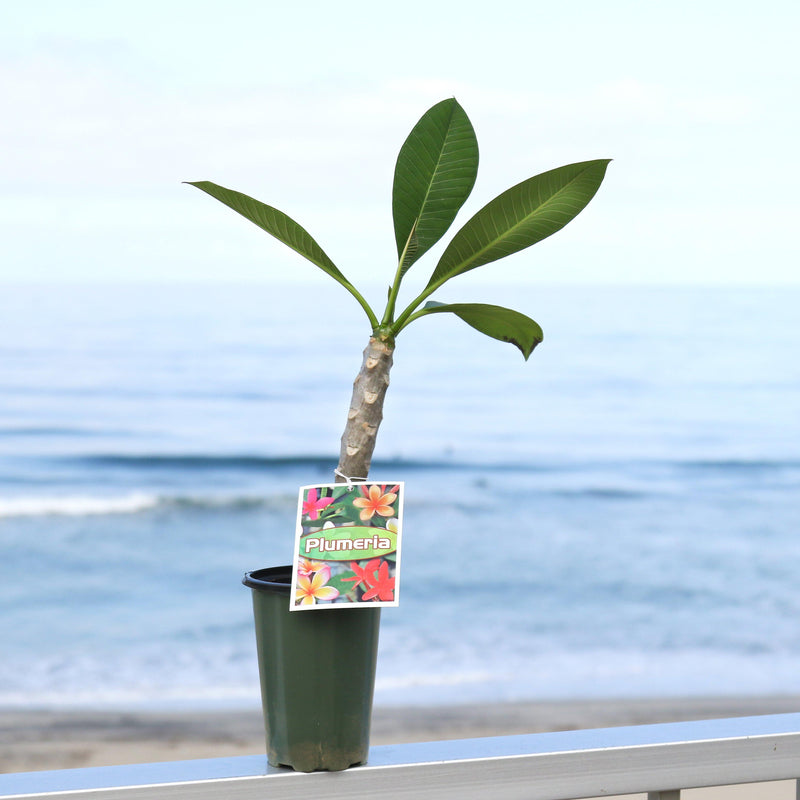 Fully rooted and potted plumeria plant