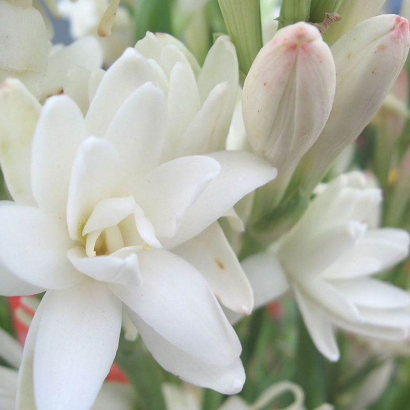 Tuberose, Double Extravaganza (12 bulb clumps)