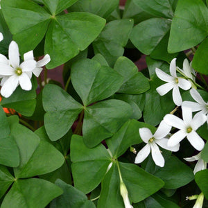 Leafy Green with Multiple White Flowers Oxalis Regnellii