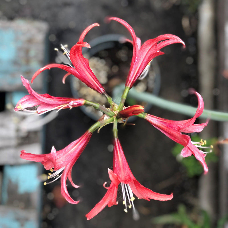 Flowers of Amaryllis Rosado