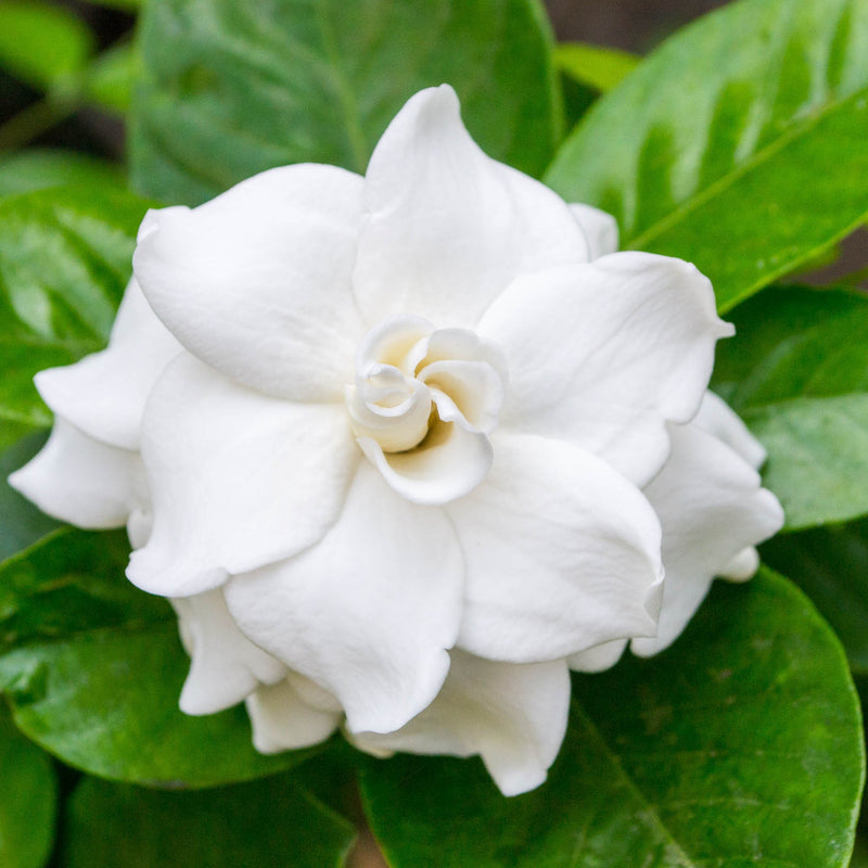 Fragrant Gardenia Flower