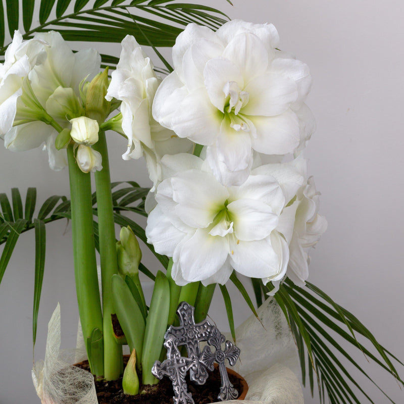 Large White Amaryllis Blooms