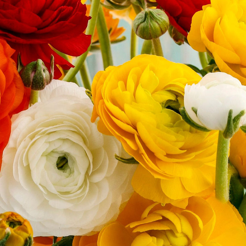 Ranunculus Tecolote® Fire & Ice Collection