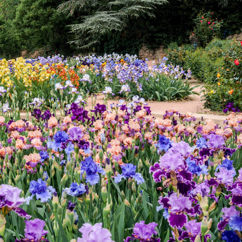Colorful Reblooming Bearded Iris Mix