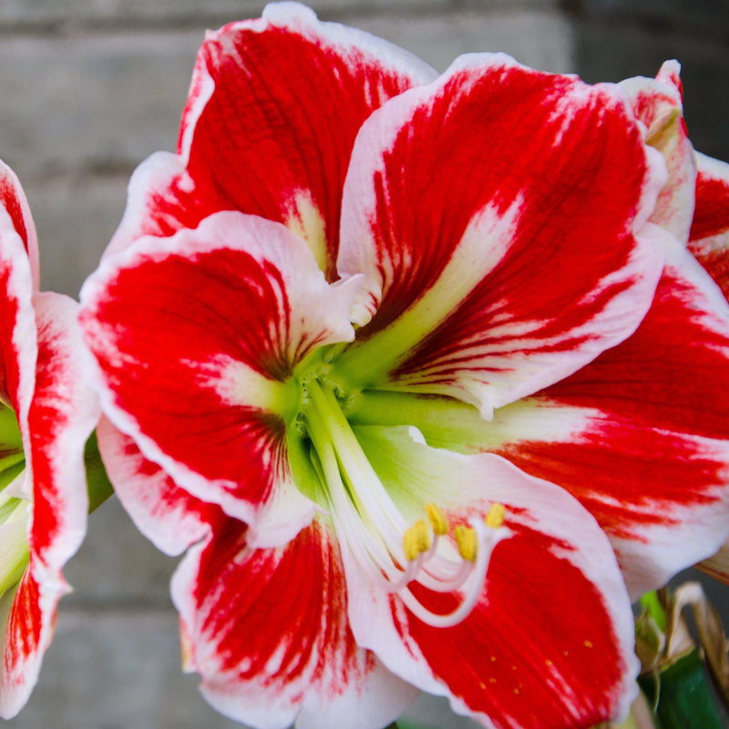Red and Green Amaryllis Samba