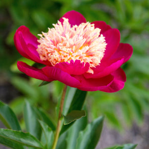 Red & Yellow Peony Bulbs For Sale | Sword Dance (Fragrant)