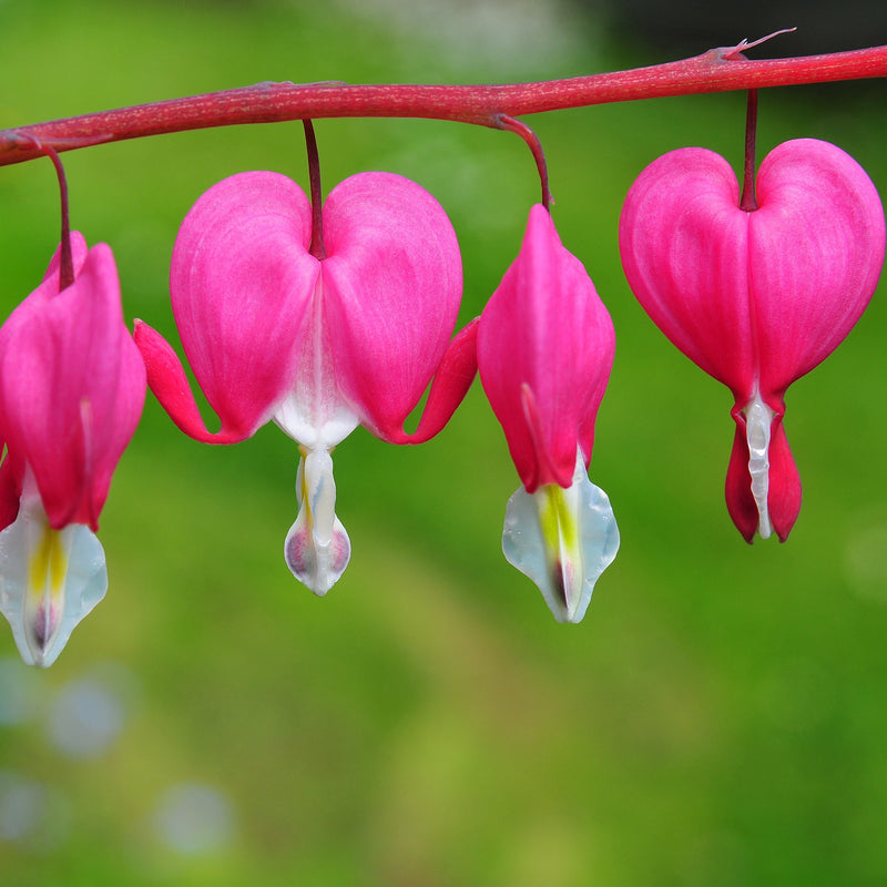 Bleeding Hearts May Romance Collection
